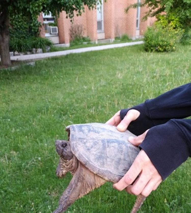 Déplacement d'une tortue vers la mare des canards